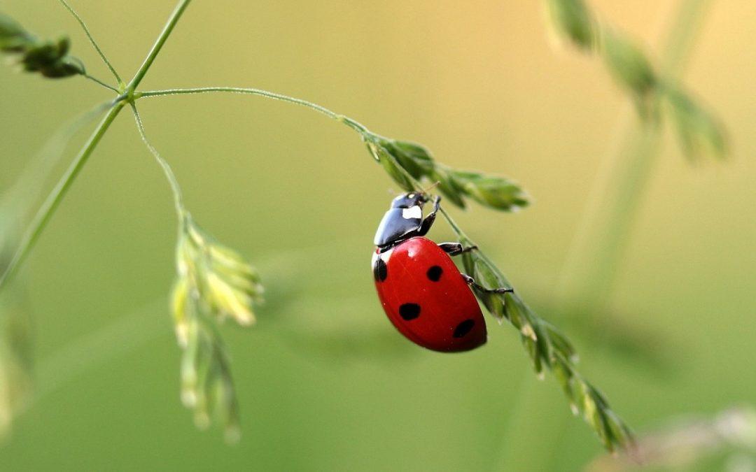 Kit d'élevage de coccinelles : l'arme fatale des insectes nuisibles dans le jardin !